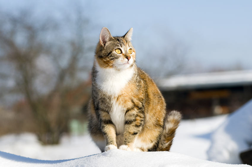 A pregnant cat sitting outside on the snow