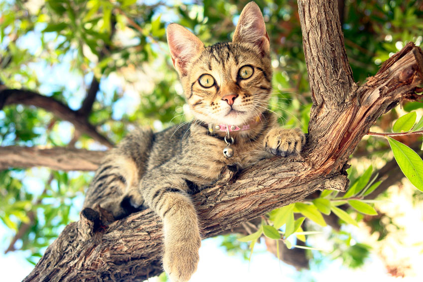 A short haired tabby lying happily in a tree
