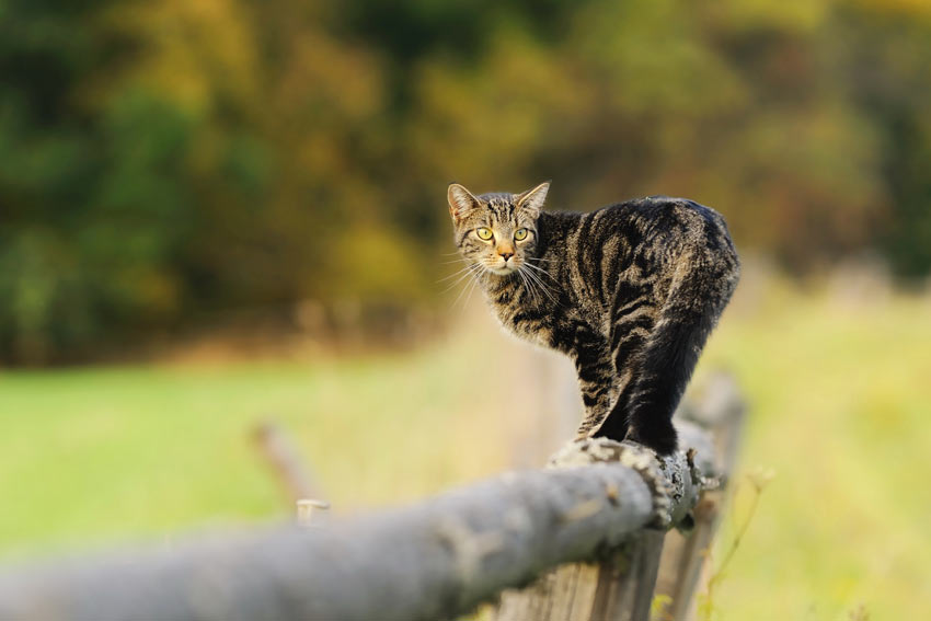 A tabby cat outside walking along a fense