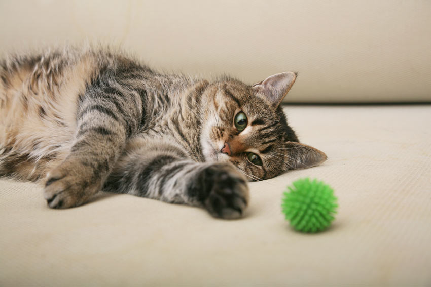 A tabby cat playing with a green ball toy