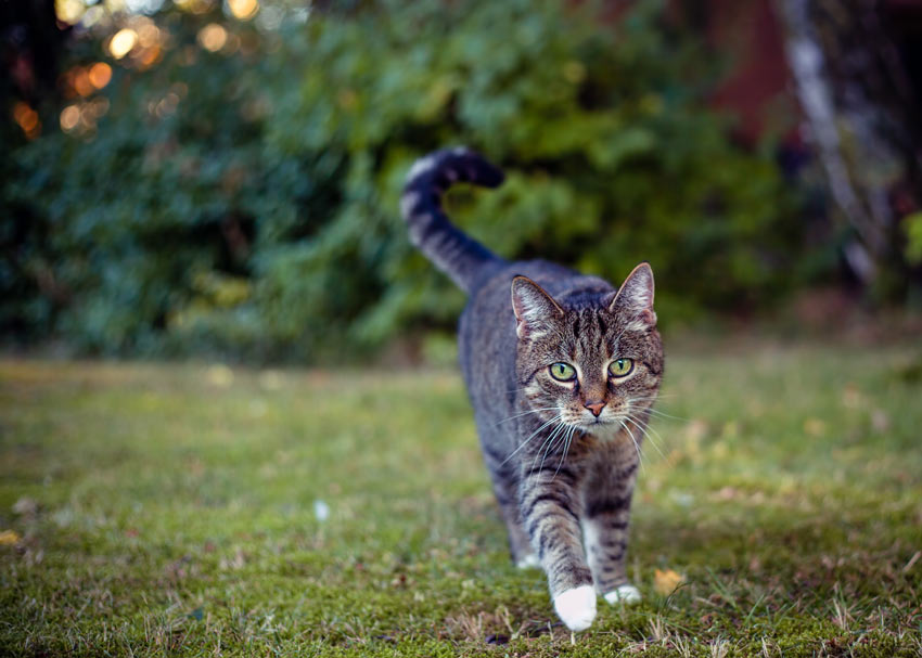 A tabby cat strolling across the garden
