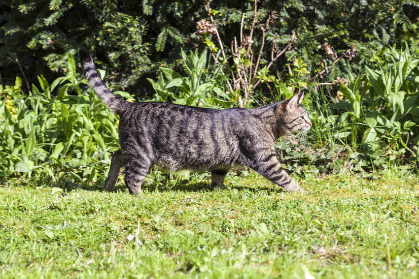 A tabby cat strolling across the grass in the garden