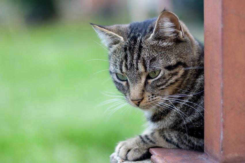 En tabby kat med en helt utrolig pels