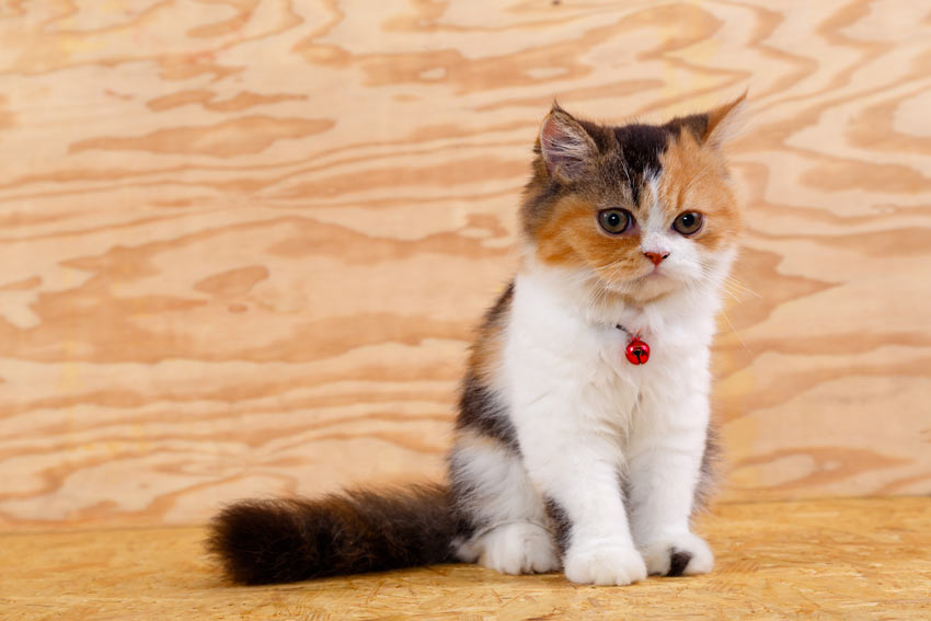 7 Best Cat Breeds With Children Choosing The Right Cat
