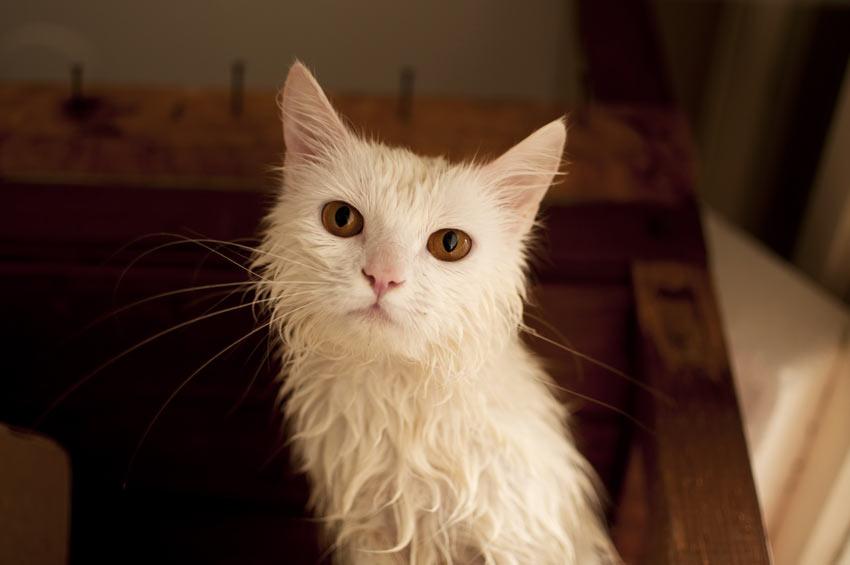 Eine nasse Katze, die nach dem Baden abgetrocknet werden muss