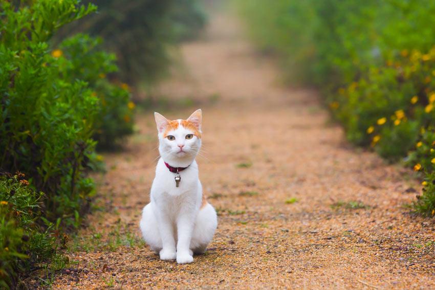 Eine weiß-rote Katze, die auf einem Kiesweg sitzt