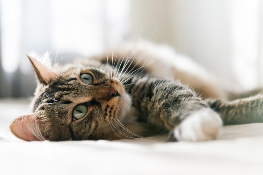 Eine wunderschöne erwachsene Tabby-Katze, die sich auf dem Teppich wälzt