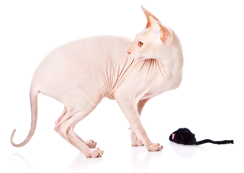 A wonderful friendly Sphynx Cat who loves to play