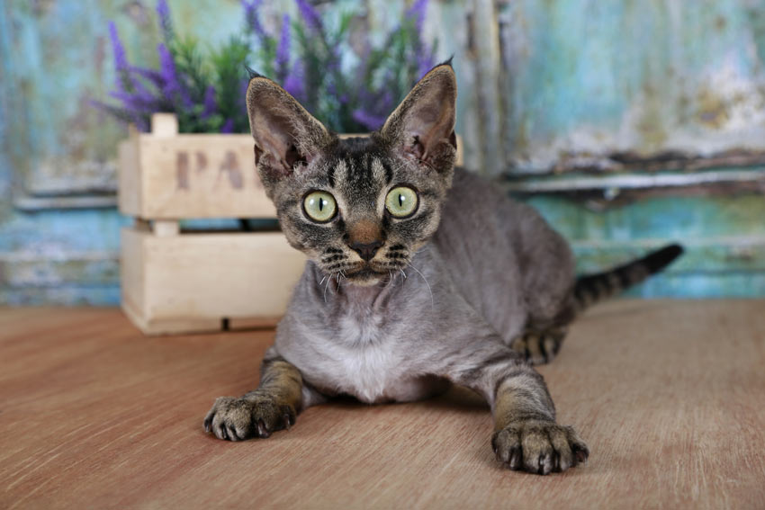A young Devon Rex Cat with a hypoallergenic coat