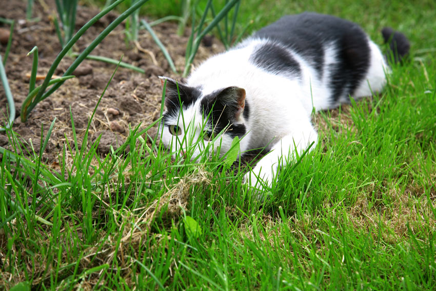 A young black and white cat mid hunt ready to pounce
