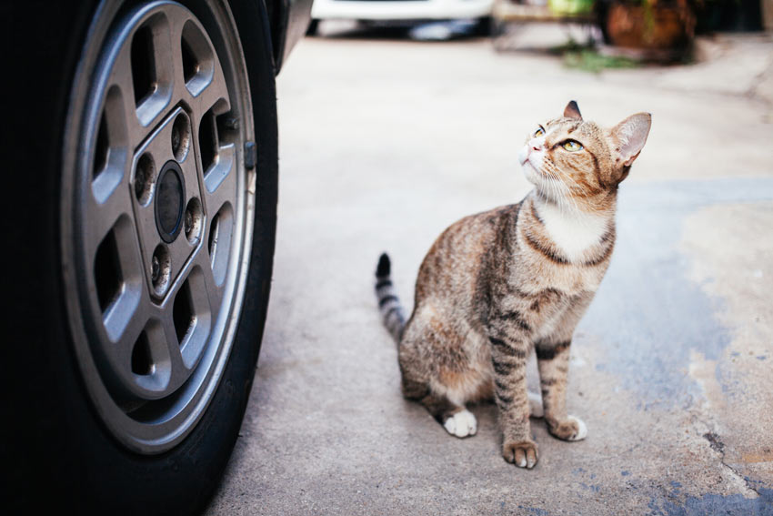 A young tabby cat worried at the though of traveling in a car