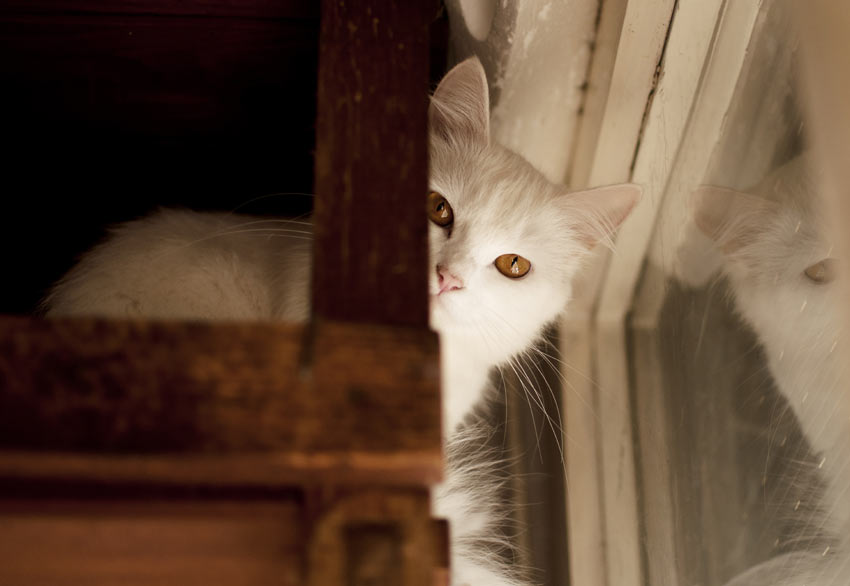 A young white cat hiding around the corner in the home