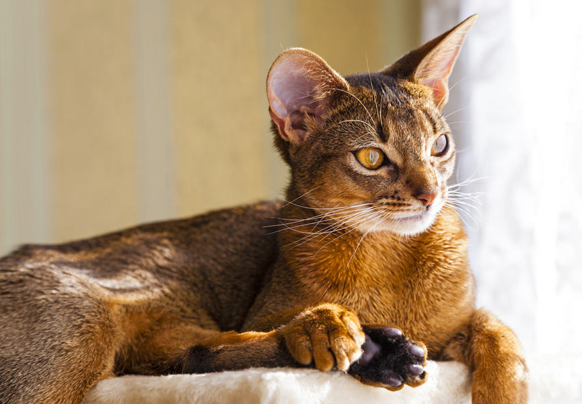 An adult Abyssinian cat lying down looking out of the window