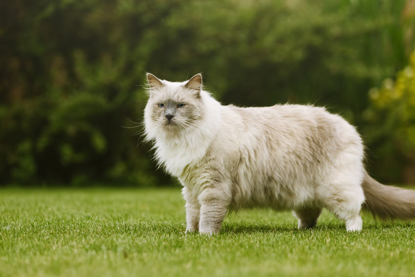 An adult Ragdoll cat with an incredible thick long coat