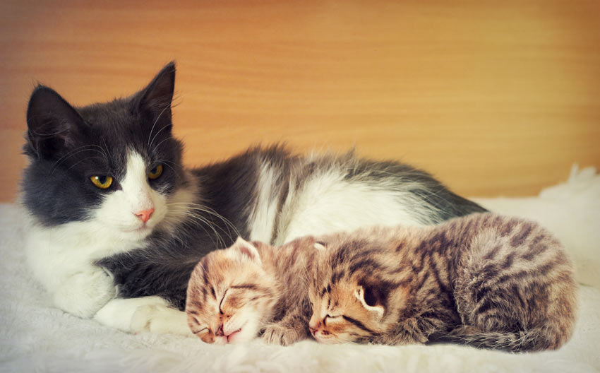 An adult cat lying down with two beautiful little kittens