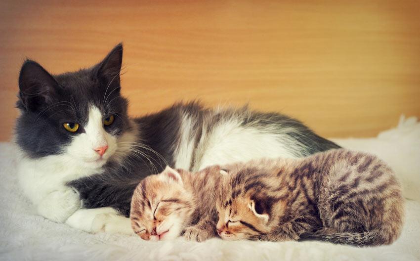 En voksen kat ligger ned med to søde små killinger