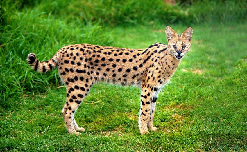 An alert Serval Cat