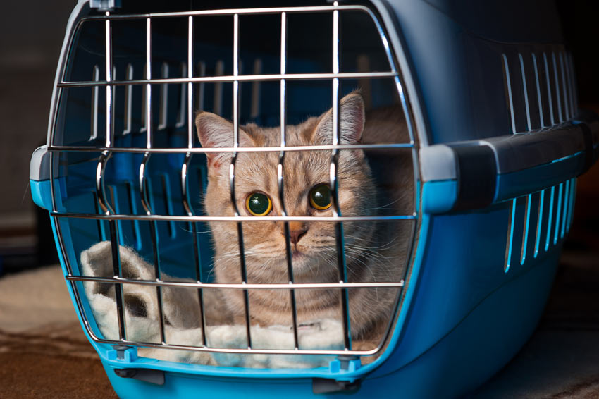 An endearing ginger cat in her cat carrier
