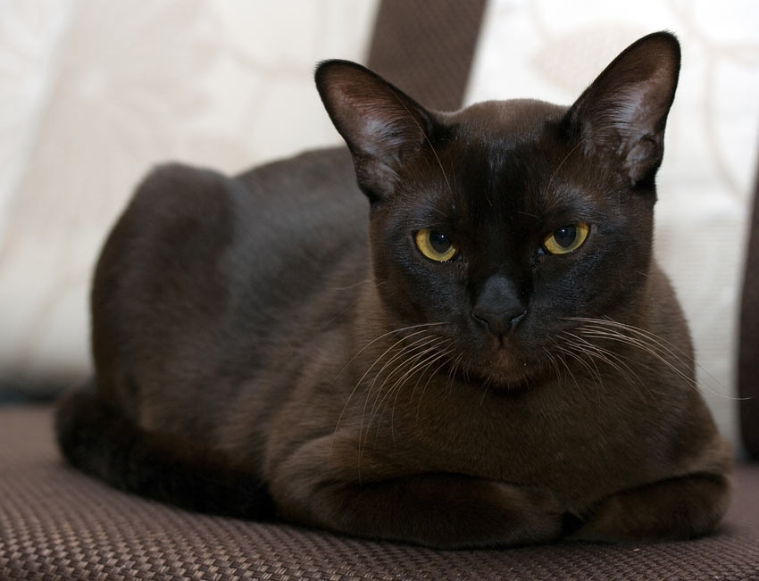 An intelegent black Burmese cat who loves human interaction