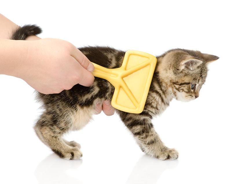 Brushing a beautiful young tabby kitten