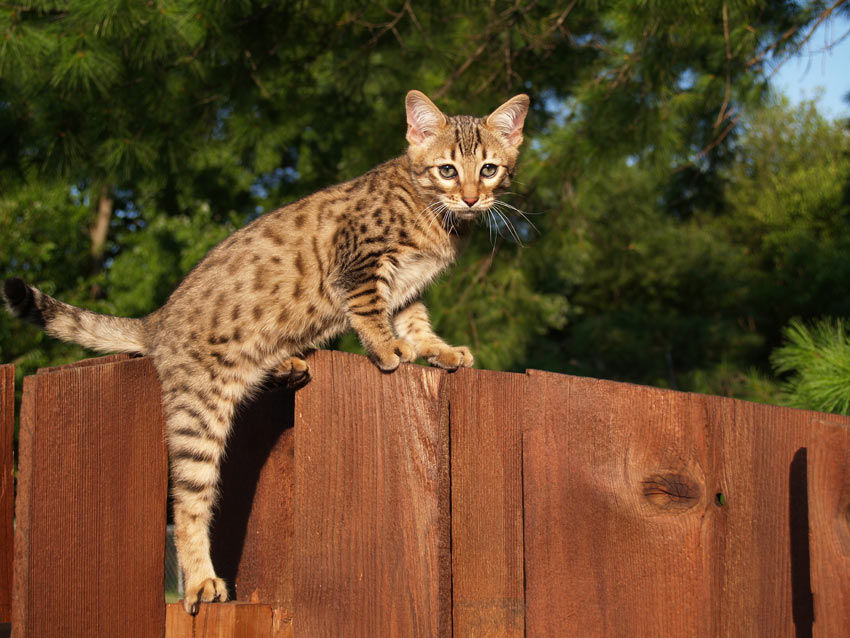 The beautifully marked savannah cat