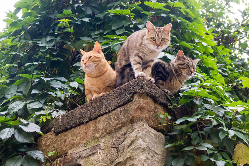Three cats sitting up high on a garden wall