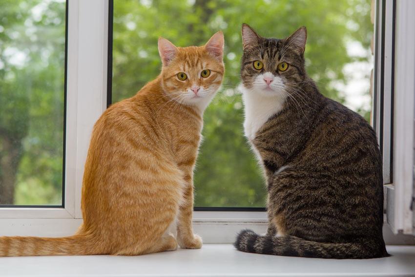 Cat-Cat_Guide-Two_beautiful_moggy_cats_sat_on_a_window_ledge Po co właściwie ten rodowód i jaki?