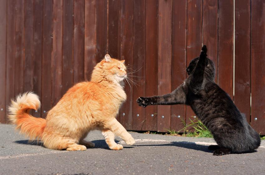 To katte mødes for første gang