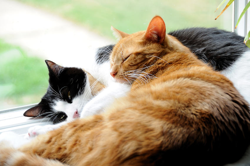Two domestic cats cuddling up to eachother on the windowsill
