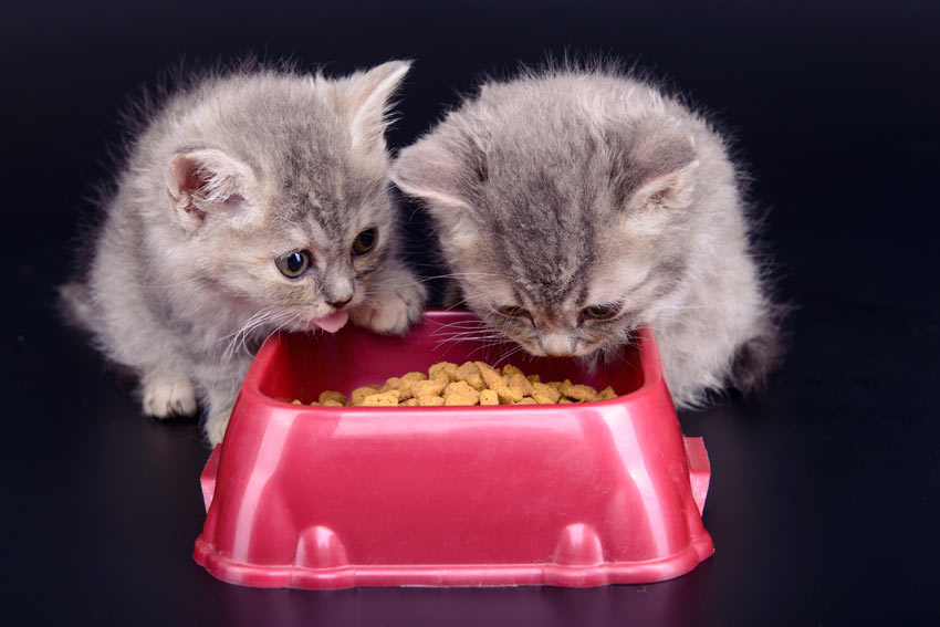 Two grey kittens munching on some kibble