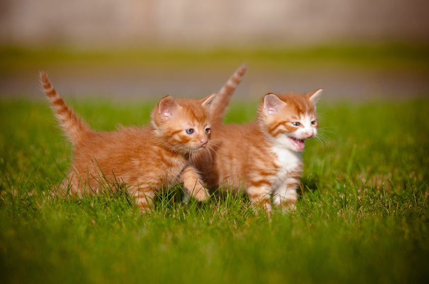 Two young kittens playing together outside on the grass