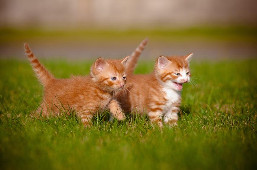 Zwei junge Kätzchen spielen zusammen draußen auf dem Rasen
