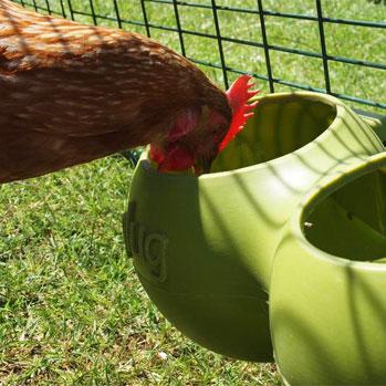 Denne Gingernut Ranger høne drikker vand fra en Omlet beholder monteret på Eglu Classic hønsegården