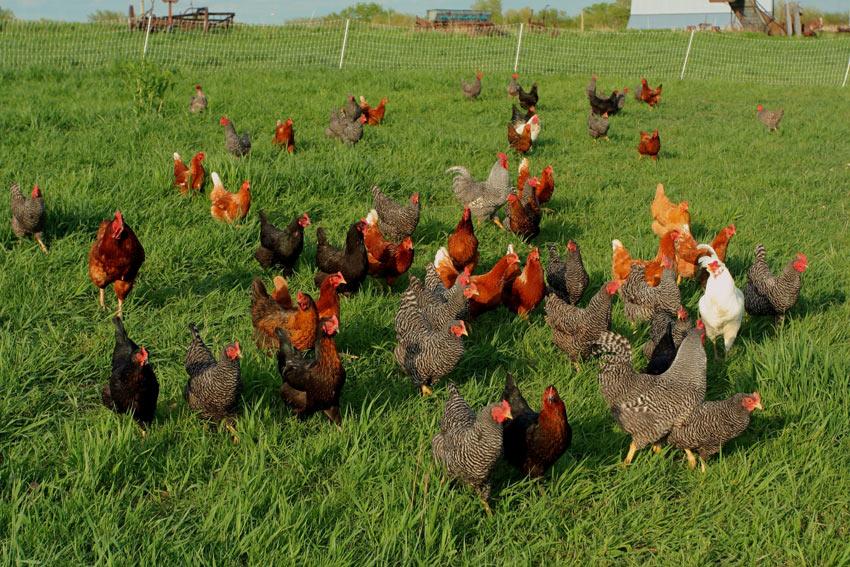 Un groupe de poules à l'air libre