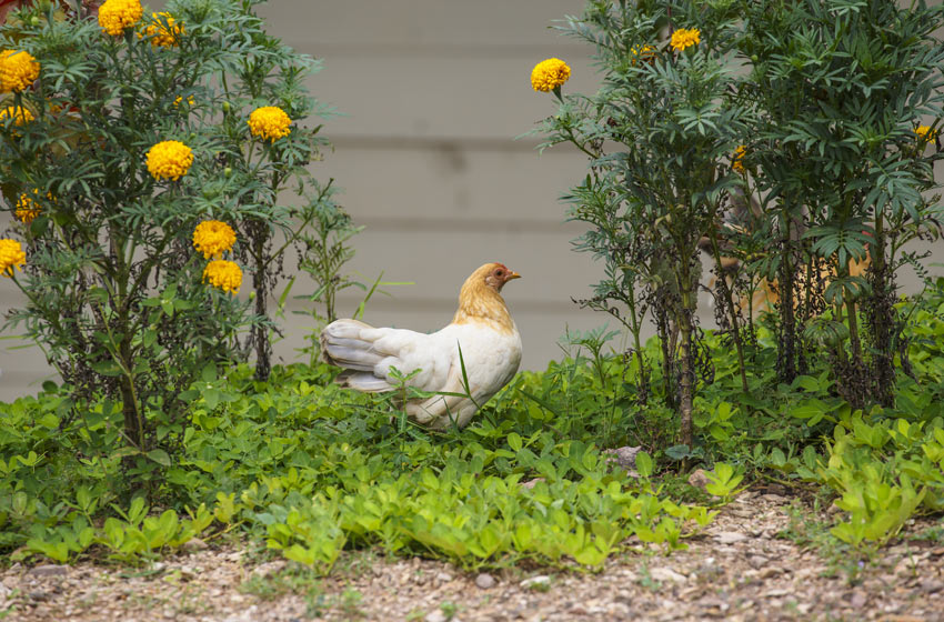 A beautiful white and ginger chicken searching for some bug in the garden