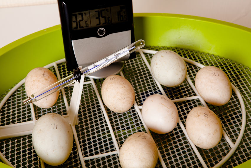 Une couvée d'œufs fécondés dans une couveuse