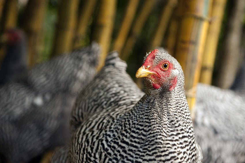 Common Chicken Problems Chicken Health Chickens Guide Omlet Uk