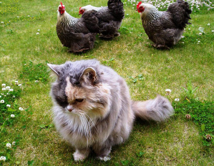 Claire Scott's cat Lucy gets on really well with her hens
