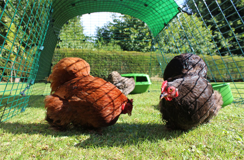 Our chickens feel very safe inside their extendable chicken runs