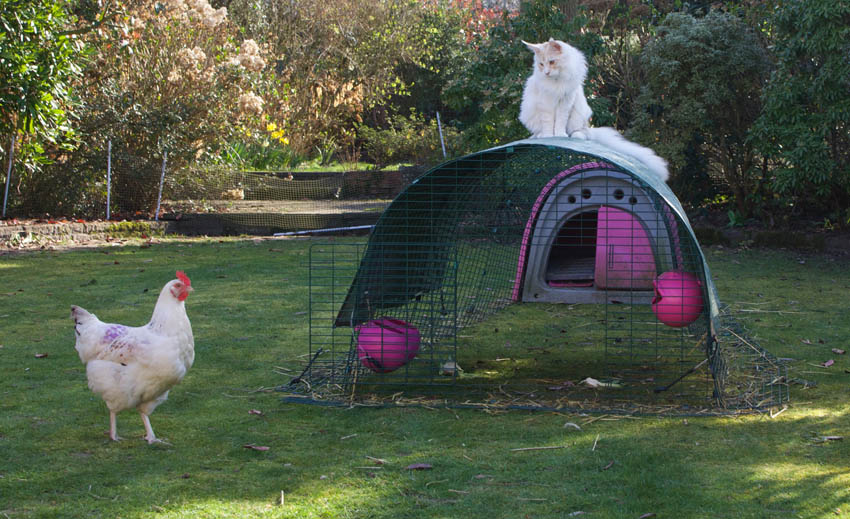 Rachael Harris' cat sat on top of her chicken run guarding her hens