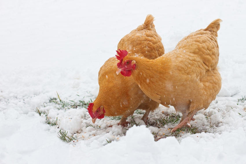 Two ginger chickens in the snow with beautiful red wattles