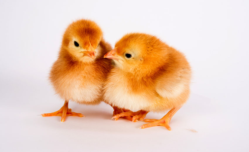 Chicks Rhode Island Red breed