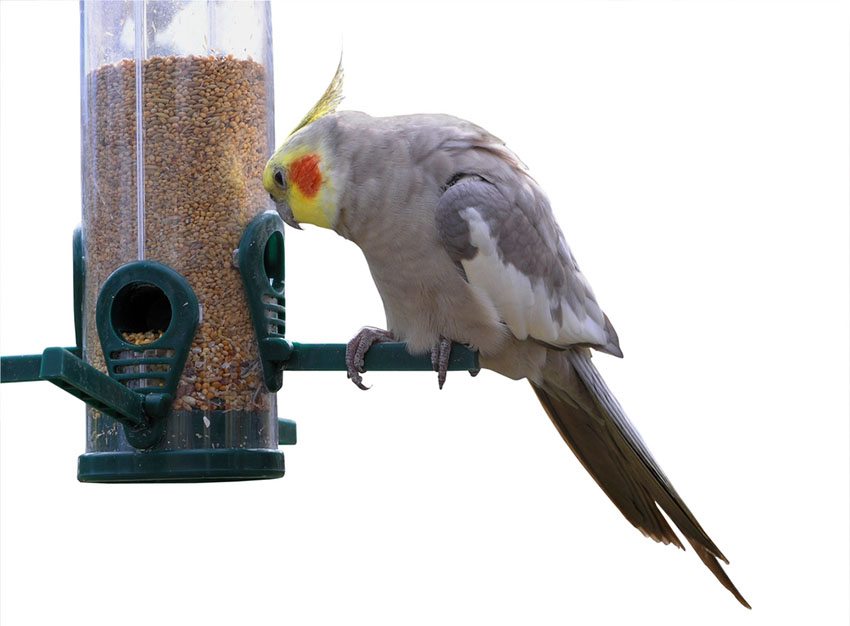 Cockatiels need a rounded diet of dry and fresh foods