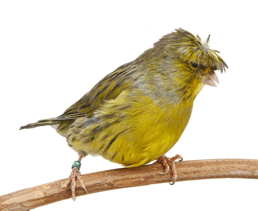 Crested-canary