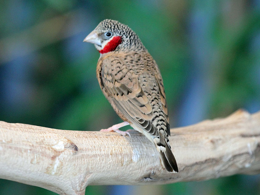 Cut-throat Finch