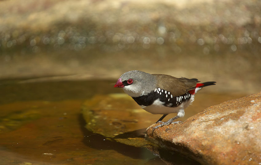 Diamond Firetail drinking