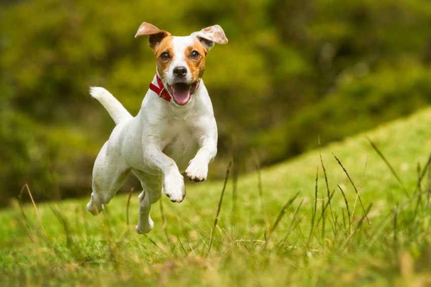A Jack Russell bounding across the grass