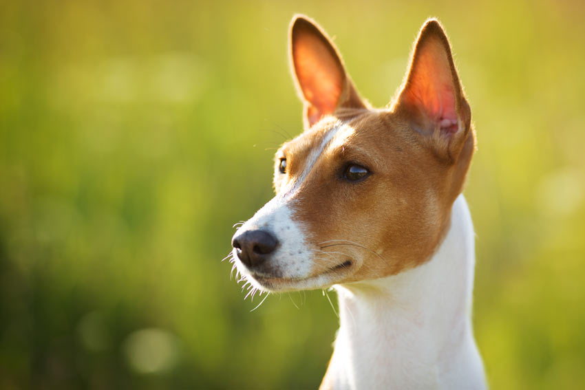 A Basenji with its beautiful tall ears perked up
