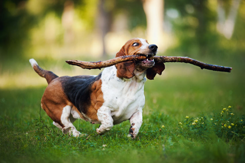 A Basset Hound retrieving a stick, he knows how to fetch