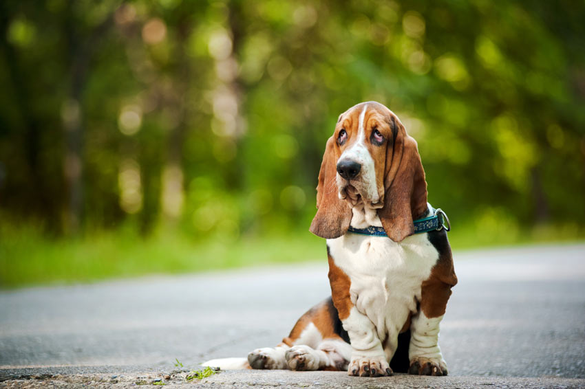 A Basset Hound sitting down with lovely droopy eyes